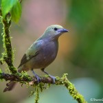 1969 Palm Tanager (Thraupis palmarum)