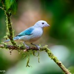 1970 Blue-gray Tanager (Thraupis episcopus)