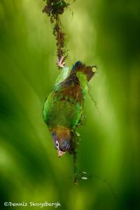 1972 Brown-hooded Parot (Pionopsitta haematotis)