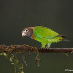 1973 Brown-hooded Parrot (Pionopsitta haematotis)