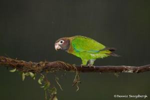 1973 Brown-hooded Parrot (Pionopsitta haematotis)