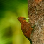 1974 Chestnut-colored Woodpecker (Celeus castaneus)