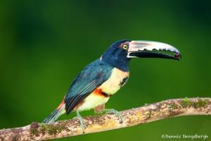 1977 Collared Aracari (Pteroglossus torquatu)