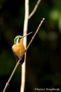 1984 Female Purple-throated Mountain Gem Hummingbird (Lampornis calolaemus)