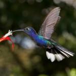 1986 Violet Sabrewing Hummingbird (Campylopterus hemileucurus)