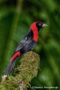 1988 Crimson-collared Tanager (Ramphocelus sanguinolentus)