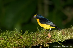 1990 Yellow-throated Euphonia (Euphonia lamiirostris), Arenal Oasis Lodge, Costa Rica