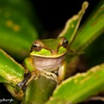 1993 White-lipped Tree Frog (Litoria infrafrenat)