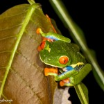 1994 Red-eyed Green Tree Frog (Agalychnis callidryas)