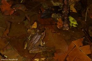 1998 Bolivian White-lipped Frog (Leptodactylus bolivianus)