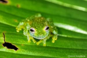 1999 Fleischmann's Glass Frog (Hyalinobatrachium fleischmanni)