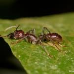 2000 Bullet Ant (Paraponera clavata)