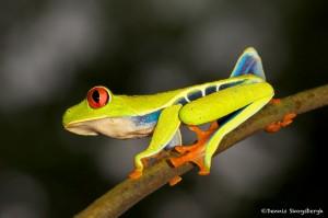 2004 Red-eyed Green Tree Frog (Agalychnis callidryas)