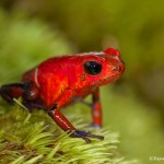 2004 Strawberry Poison Dart Frog (Dendrobates pumillo)