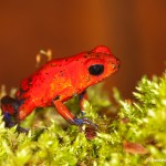 2005 Strawberry Poison Dart Frog (Dendrobates pumillo)