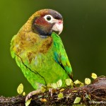 2010 Brown-hooded Parrot (Pionopsitta haematotis)