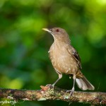 2011 Clay-colored Thrush (Turdus grayi)