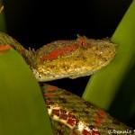 2021 Eyelash viper (Bothriechis schlegelii)