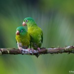 2023 Orange-chinned Parakeet (Brotogeris jugularis)