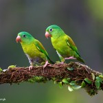 2024 Orange-chinned Parakeet (Brotogeris jugularis)