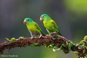 2024 Orange-chinned Parakeet (Brotogeris jugularis)