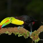 2025 Keel-billed Toucan (Ramphastos sulfuratus)