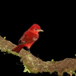 2030 Summer Tanager (Piranga flava)
