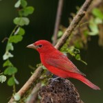 2031 Summer Tanager (Piranga flava)