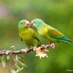 2037 Orange-chinned Parakeets (Brotogeris jugularis)