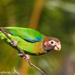 2041 Brown-hooded Parrot (Pionopsitta haematotis)