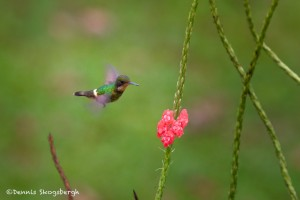 2042 Black-crested Coquette (lephornis helenae)