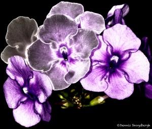 2044 Brenfelsia pauciflora