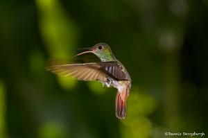 2046 Rufous-tailed Hummingbird (Amazilia tzacatl)