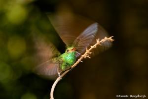 2047 Rufous-tailed Hummingbird (Amazilia tzacatl)