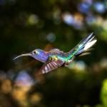 2048 Violet Sabrewing Hummingbird (Campylopterus hemileucurus)