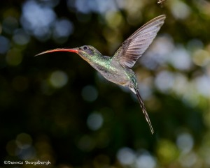 2049 Green Hermit Hummingbird (Phaethornis guy)