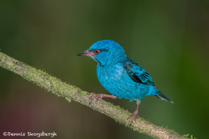 2997 Male Blue Dacnis (Dacnis Cayana), Laguna Del Largarto, Costa Rica