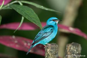 2998 Blue Dacnis (Dacnis Cayana), Laguna Del Largarto, Costa Rica