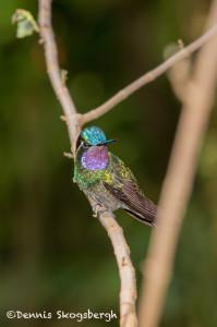 3007 Purple-throated Mountain Gem (Lampornis calolaemus), La Paz Waterfall Gardens, Costa Rica