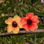 3011 Black-eyed Susan. Bougainvillea Gardens, Costa Rica