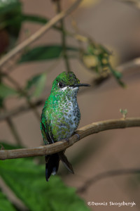 3012 Female Green-crowned Brilliant Hummingbird (Heliodoxa jacula), La Paz Waterfall Gardens, Costa Rica
