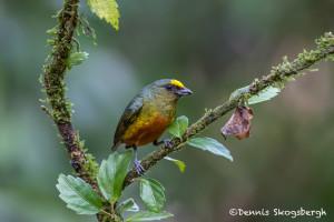 3015 Male Olive-backed Euphonia (Euphonia gouldi), Laguna del Lagarto, Costa Rica