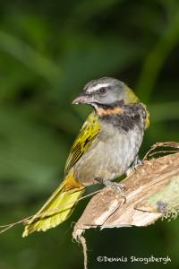 3016 Buff-throated Saltatore (Saltatore maximus), Laguna del Lagarto, Costa Rica