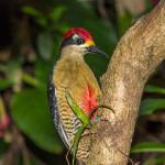 3044 Black-cheeked Woodpecker (Melanerpes pucherani), Arenal Oasis, Coasta Rica