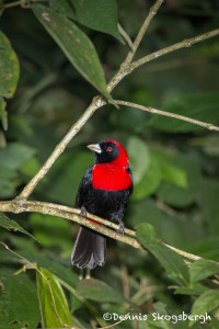 3045 Crimson-collared Tanager (Ramphocelus sanguinolentus), Arenal Oasis Lodge, Costa Rica