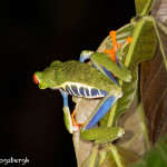 3046 Red-eyed Green Tree Frog (Agalychnis callidryas), Arenal Oasis Lodge, Costa Rica