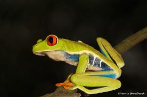 3048 Red-eyed Green Tree Frog (Agalychnis callidryas), Arenal Oasis Lodge, Costa Rica