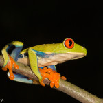 3050 Red-eyed Green Tree Frog (Agalychnis callidryas), Arenal Oasis Lodge, Costa Rica