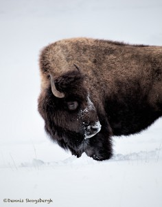 2554 Yellowstone Bison