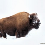2555 Yellowstone Bison